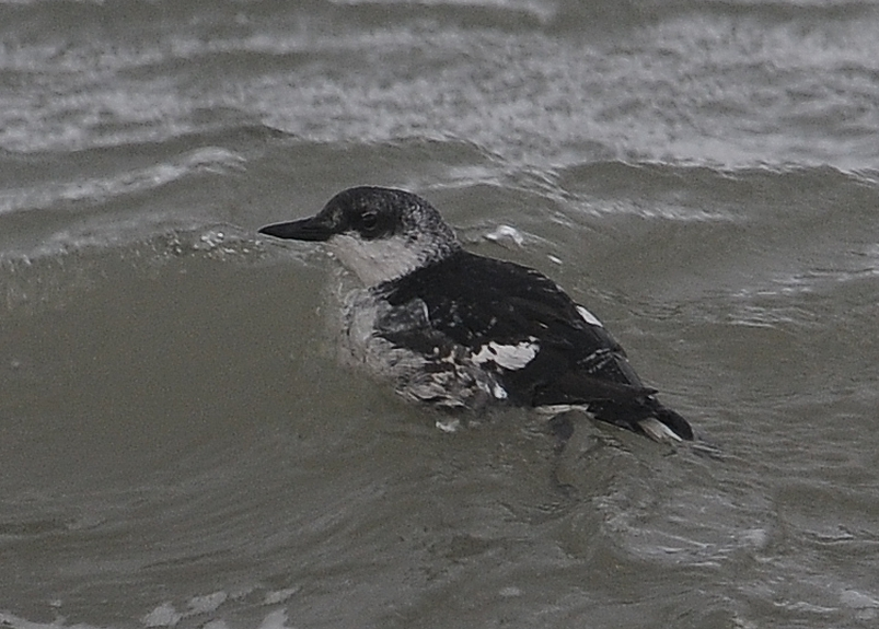 Black Guillemot 1CY 05122011 5137 Brouwersdam,The Netherlands c Norman Deans van Swelm