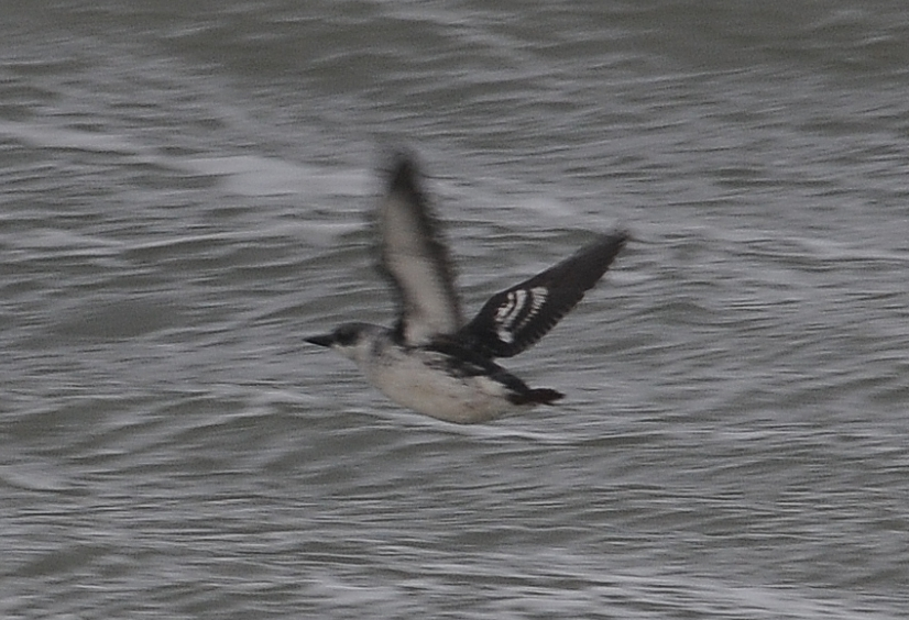 Black Guillemot 1CY 05122011 5143 Brouwersdam,The Netherlands c Norman Deans van Swelm