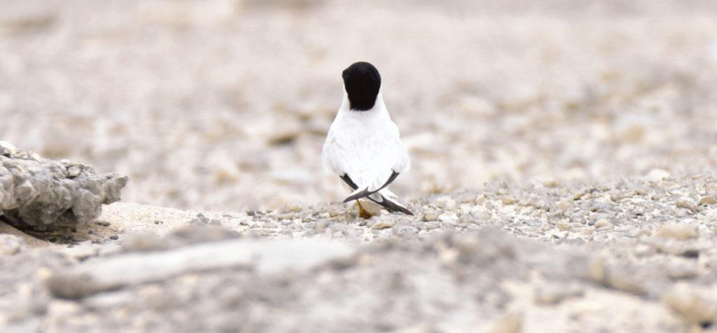 This image has an empty alt attribute; its file name is 2.-Saunders-Tern-Sterna-saundersi-ad-spring-2018-palest-among-little-tern-species-Bahrain-c-Howard-King-2-1024x476.jpg