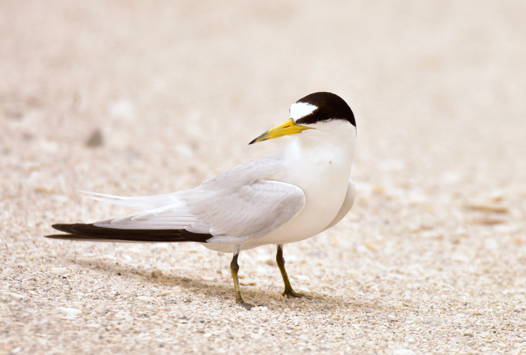 This image has an empty alt attribute; its file name is 8..-Saunders-Tern-Sterna-saundersi-ad-09052018-1-Bahrain-c-Howard-King-09052018-2-Bahrain-c-Howard-King-1.jpg