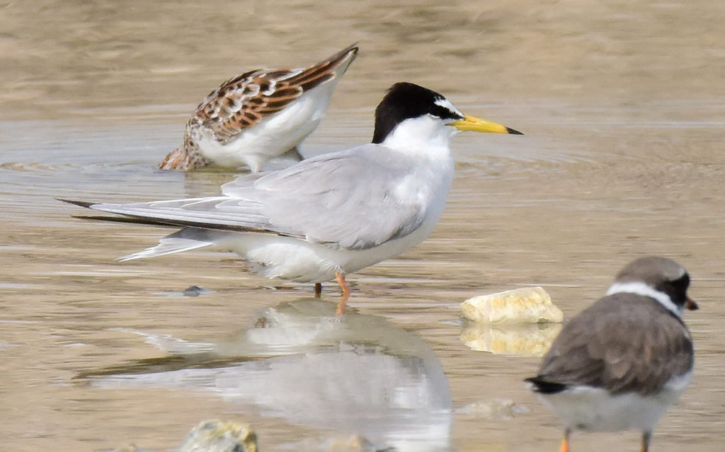 This image has an empty alt attribute; its file name is 9-little-Tern-Sterna-albifrons-subspec.-May-Bahrain-c-Howard-King-1024x639.jpg